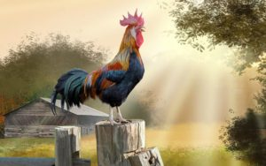 rooster-bird-wishing-you-good-morning-and-sunshine